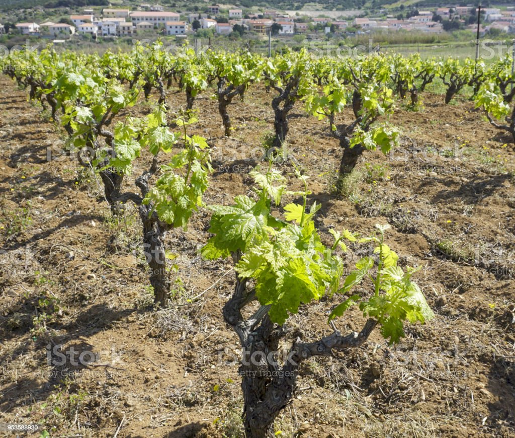 Rows of vineyard, grapevine with young green leaves in spring stock photo