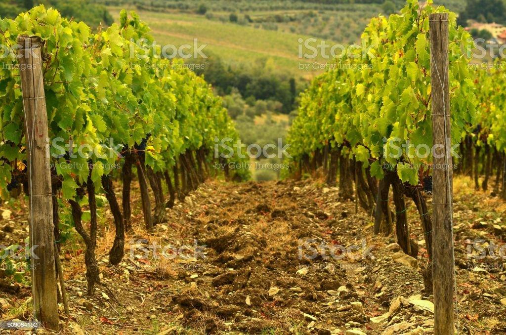 rows of vineyard in tuscany. italy. stock photo