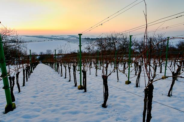 Rows of vineyards covered with white snow in winter. Vineyards at sunset. stock photo
