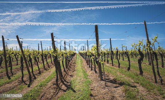925850210 istock photo Rows of vineyards in Alsace with a beautiful blue sky 1155705253