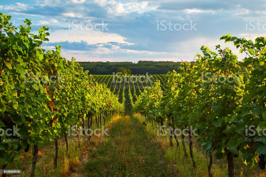 Rows of vineyards in summer stock photo
