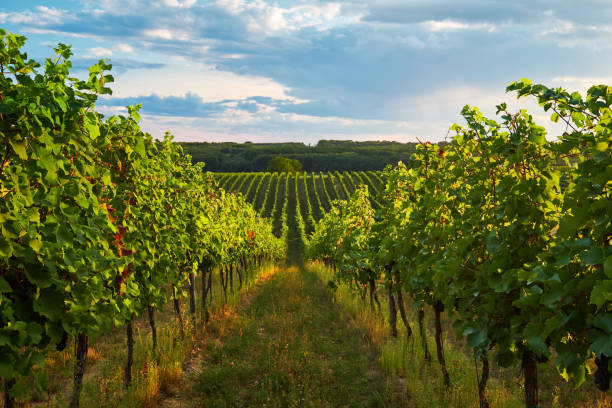 Rows of vineyards in summer Rows of vineyards in summer, South Moravian Region, Czech Republic moravia stock pictures, royalty-free photos & images