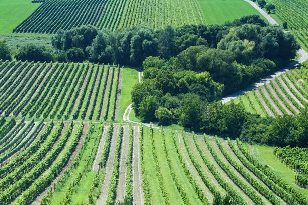 Rows of Vineyards in the Southern Moravia South Moravian landscape with rows of vineyards, Czech Republic. moravia stock pictures, royalty-free photos & images