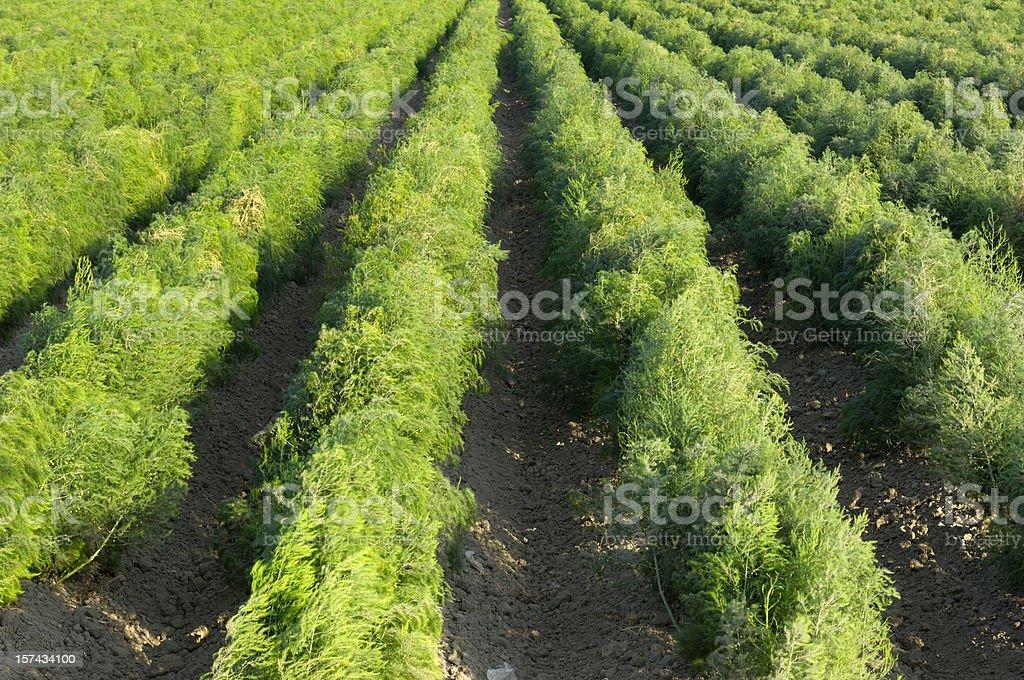 Filas de viento soplado espárragos creciente en la granja - foto de stock