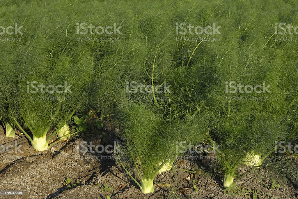 Rows of Wind Blown Fennel Growing on Farm royalty-free stock photo