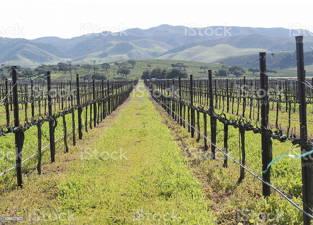 rows of winter grape vines stock photo