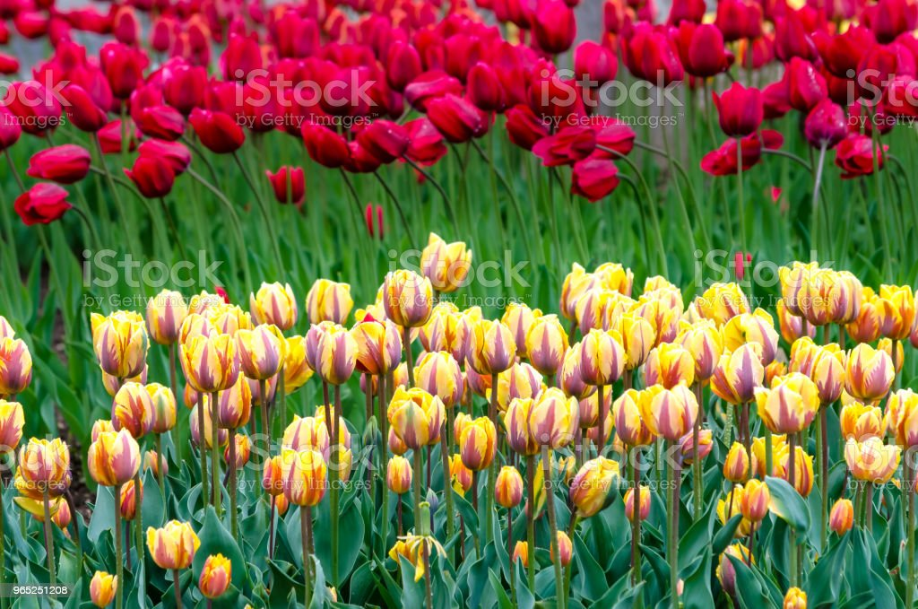 Rows of yellow and purple tulips with red tulips in the background zbiór zdjęć royalty-free