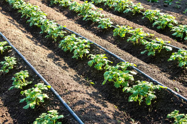 Rows of young potatoes plants and drip irrigation in the garden - selective focus, copy space Rows of young potatoes plants and drip irrigation in the garden - selective focus, copy space irrigation equipment stock pictures, royalty-free photos & images