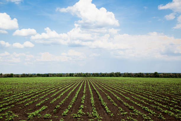 Rows of young sunflower field on sunny summer day Rows of young sunflower field on a sunny summer day university of missouri columbia stock pictures, royalty-free photos & images