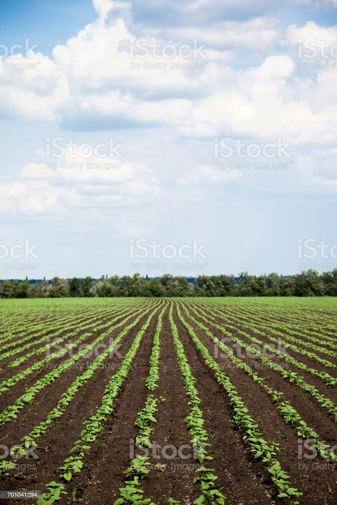 989a746f553 Filas de jóvenes campo de girasol en día soleado de verano foto de stock  libre de
