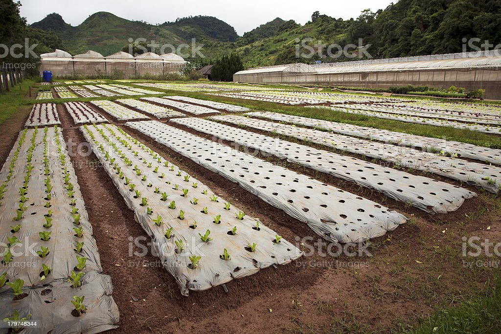 rows of young vegetable plants royalty-free stock photo