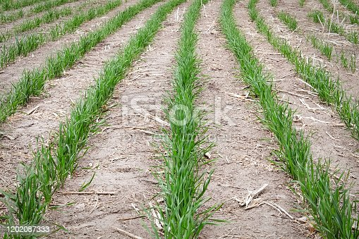 Rows of young wheat plants growing in a field.