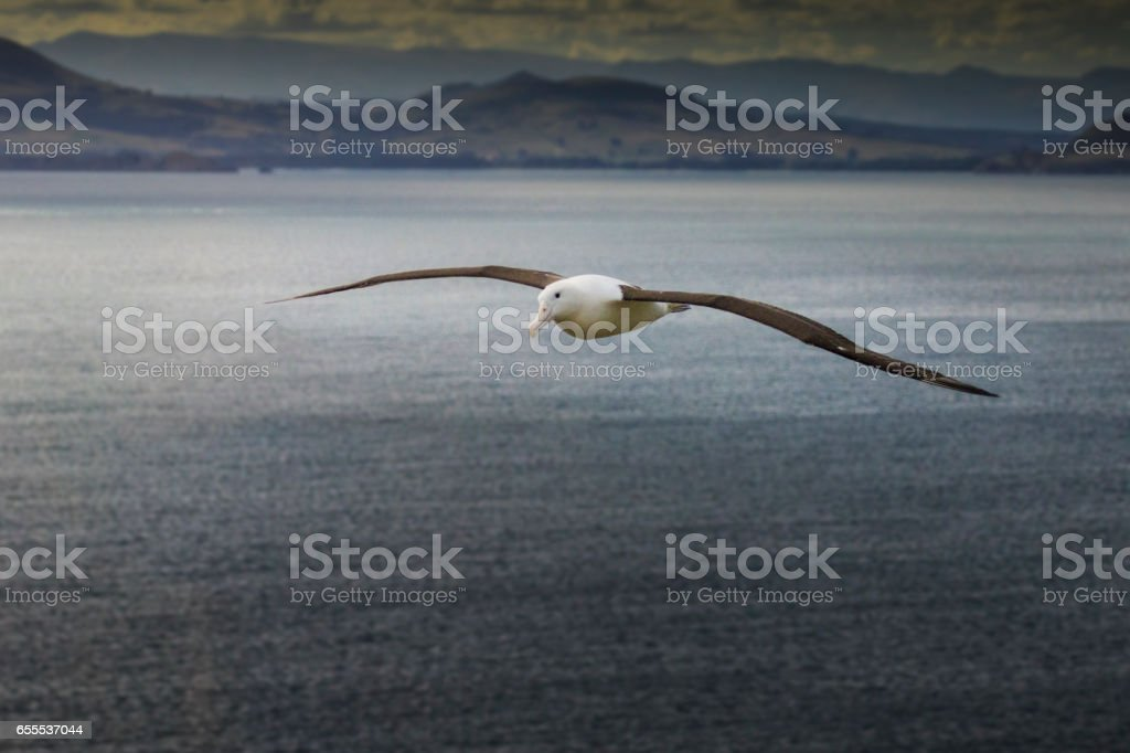 Royal Albatross Returning to Land - foto de stock
