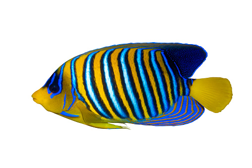 Royal Angelfish (Regal Angel Fish), Coralfish isolated on a white background. Tropical colorful fish with yellow fins, orange, white and blue stripes in blue ocean water. Side view, close up, cut out.