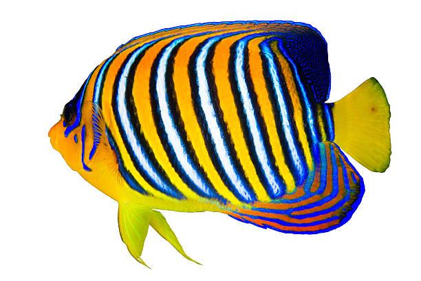 royal angelfish - tropikalna ryba zdjęcia i obrazy z banku zdjęć