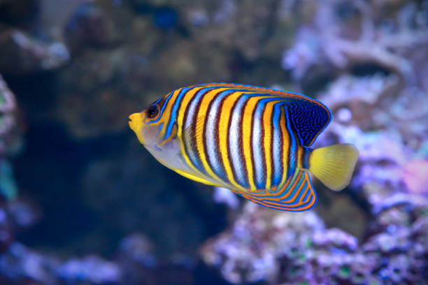 Royal angelfish Pygoplites diacanthus,or the regal angelfish. stock photo