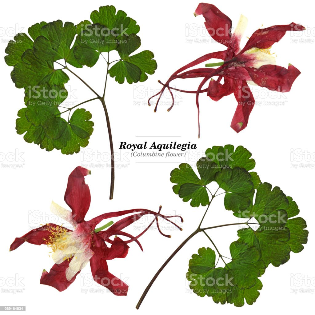 Royal Aquilegia With Pressed Leaves Isolated Stock Photo More