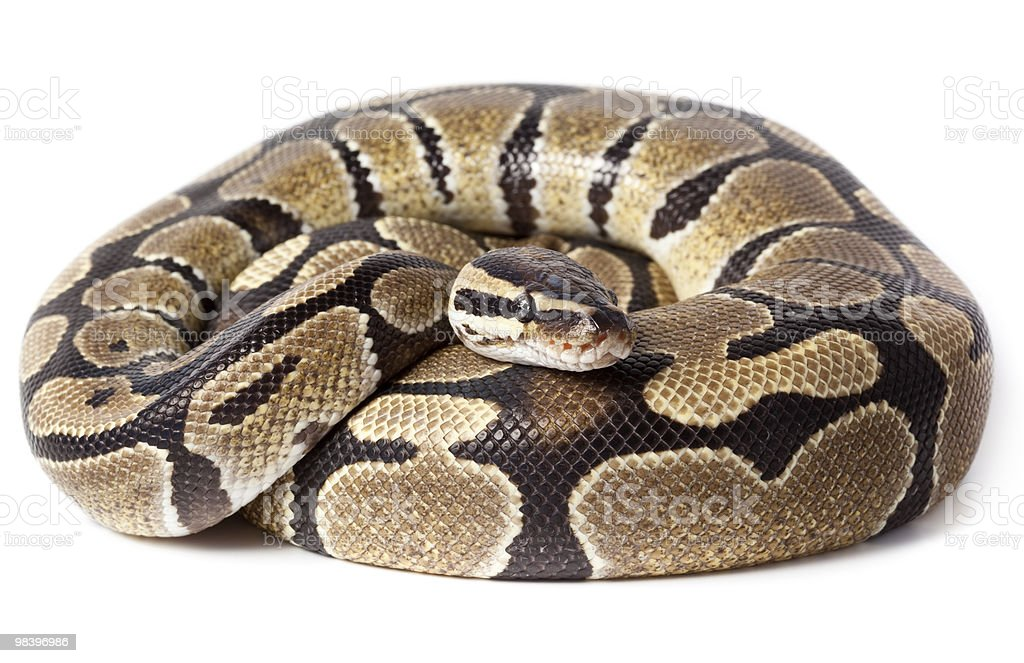 Royal, Ball Python (regius) stock photo