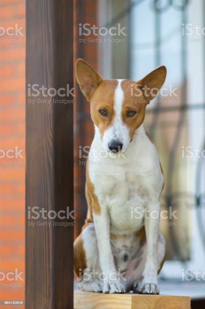 Royal basenji dog looking down while sitting against the house it lives royalty-free stock photo