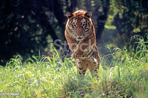 One more in my series of many moods of the Indian tiger.