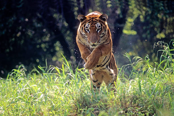 royal bengal tiger jumping through long green grass - tiger stock photos and pictures