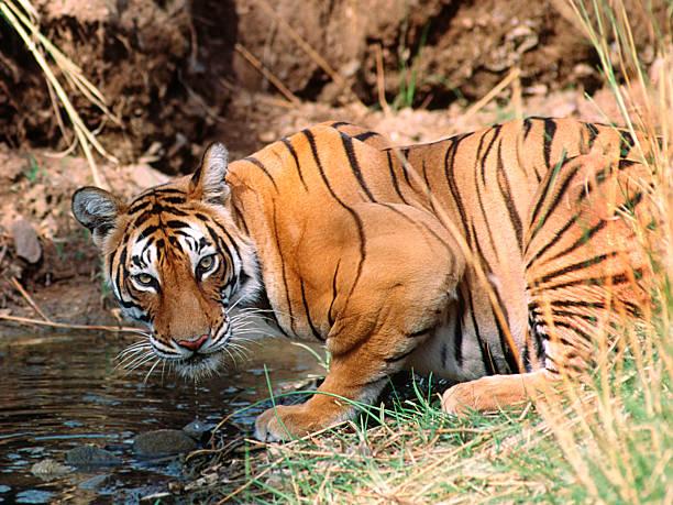 Royal Bengal Tiger stock photo