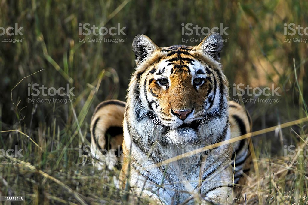 Royal Bengal Tiger - Royalty-free Animal Stock Photo