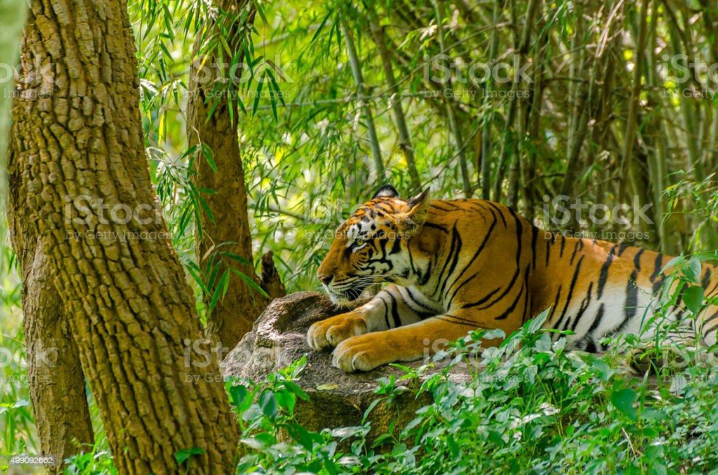 Royal Bengal tiger (Panthera tigris tigris) stock photo