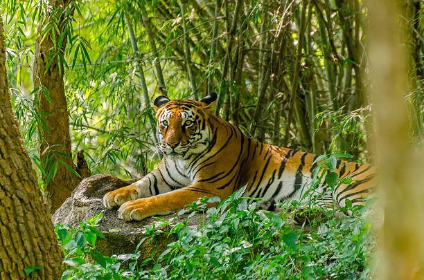 royal bengal tiger (panthera tigris tigris) - tiger stock photos and pictures