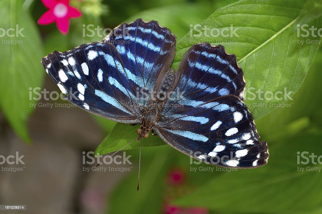 Royal Blue Butterfly on Zinnia Leaf royalty-free stock photo