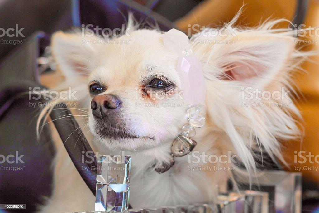 Royal canine stock photo