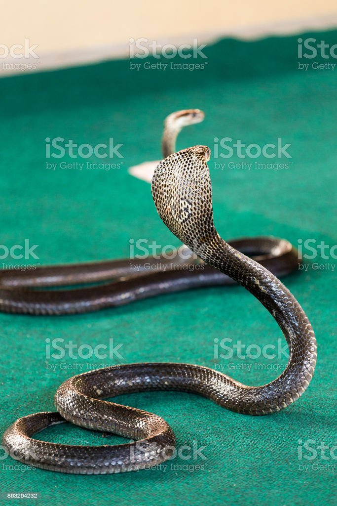 Royal cobra close-up with hood stock photo
