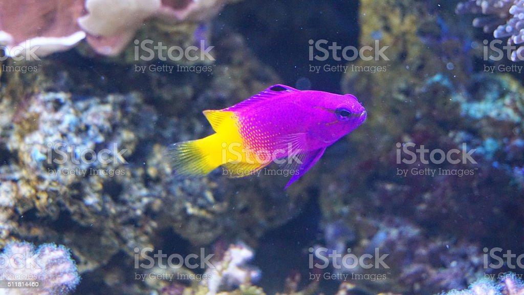 Royal gramma fish (Gramma loreto) stock photo