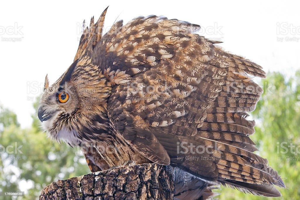 Royal Iberian owl stock photo