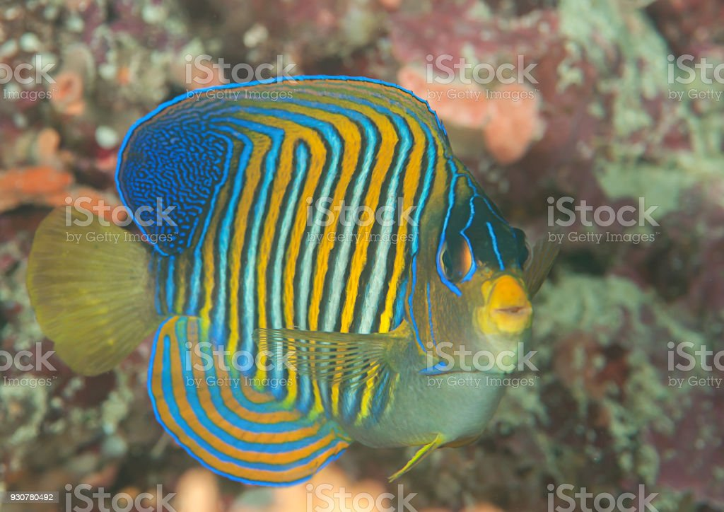 Royal or regal angelfish (Pygoplites diacanthus) swimming over coral reef of Bali stock photo
