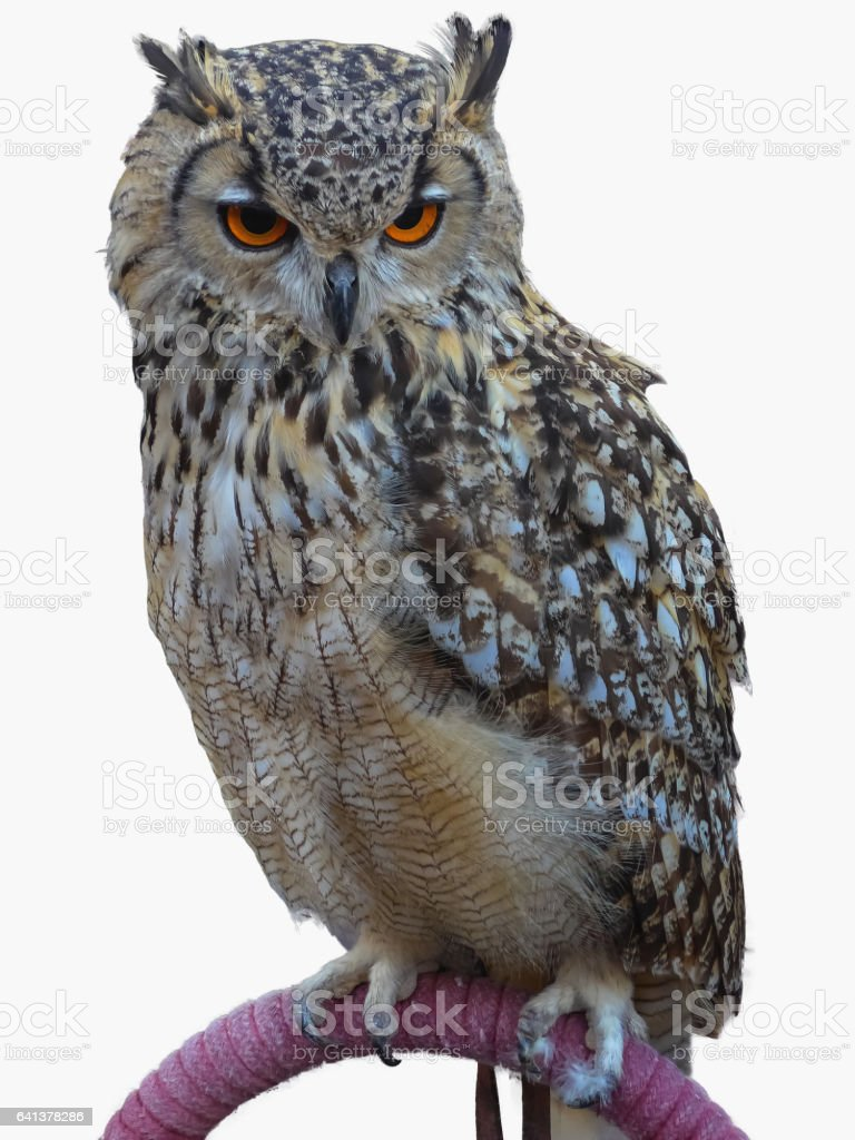Royal owl isolated over white stock photo