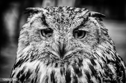 Royal owl, detail of a wild bird, bird