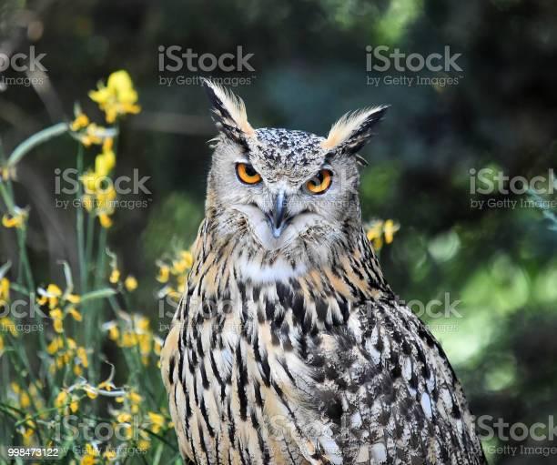 Royal owl picture id998473122?b=1&k=6&m=998473122&s=612x612&h=oilf pehyd8bipgark3xua6szpyhqejotdd8ykxmdey=