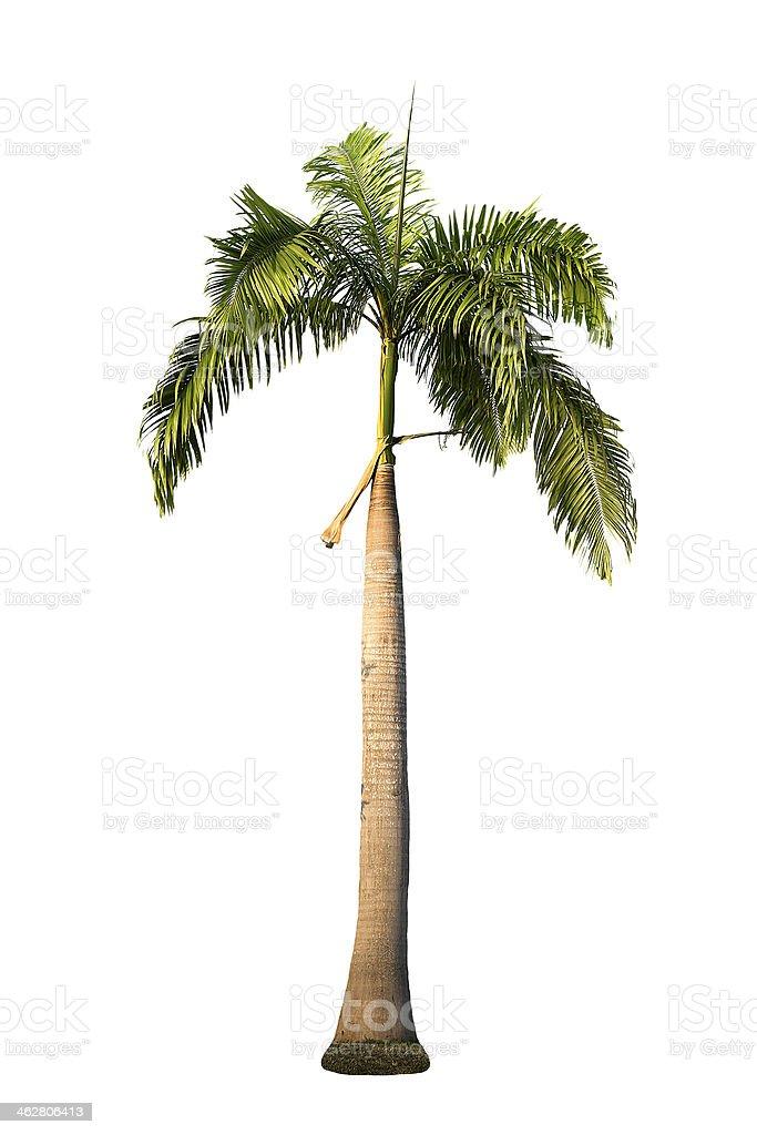 Royal palm tree stock photo