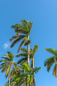 Beautiful group of royal palms and coconut tree in a sunny morning.
