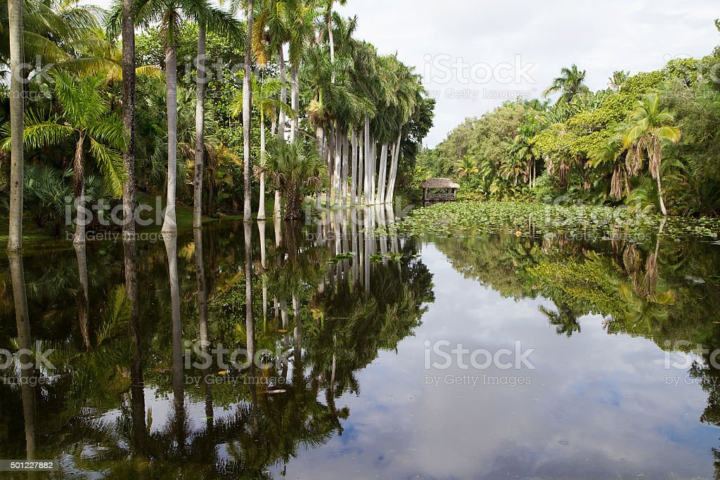 Royal Palm trees reflecting in the Bonnet House slough stock photo
