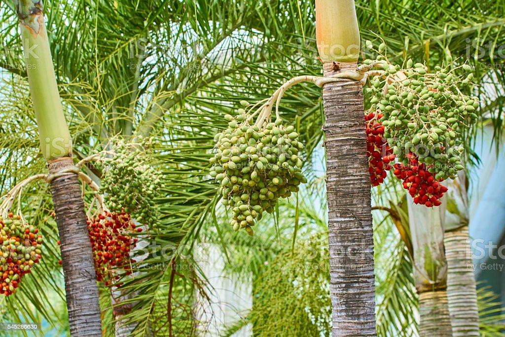 Royal palm trees (Rystonea Regia) with fruits. stock photo