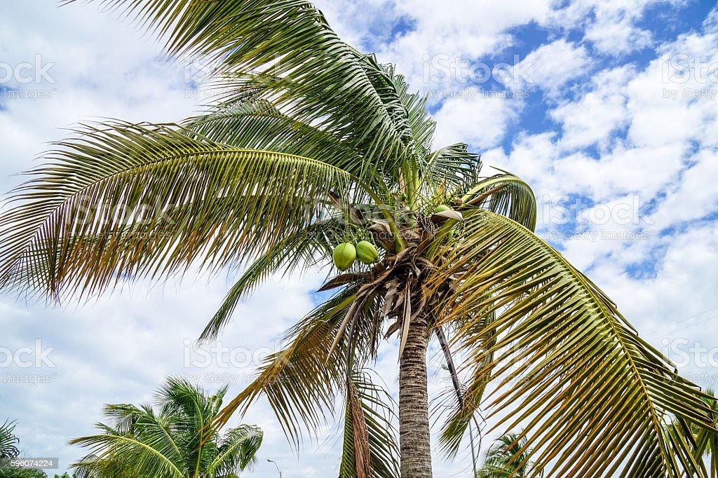 Royal Palms Cuba royalty-free stock photo
