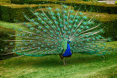 A male peacock shows off his brilliant colors.