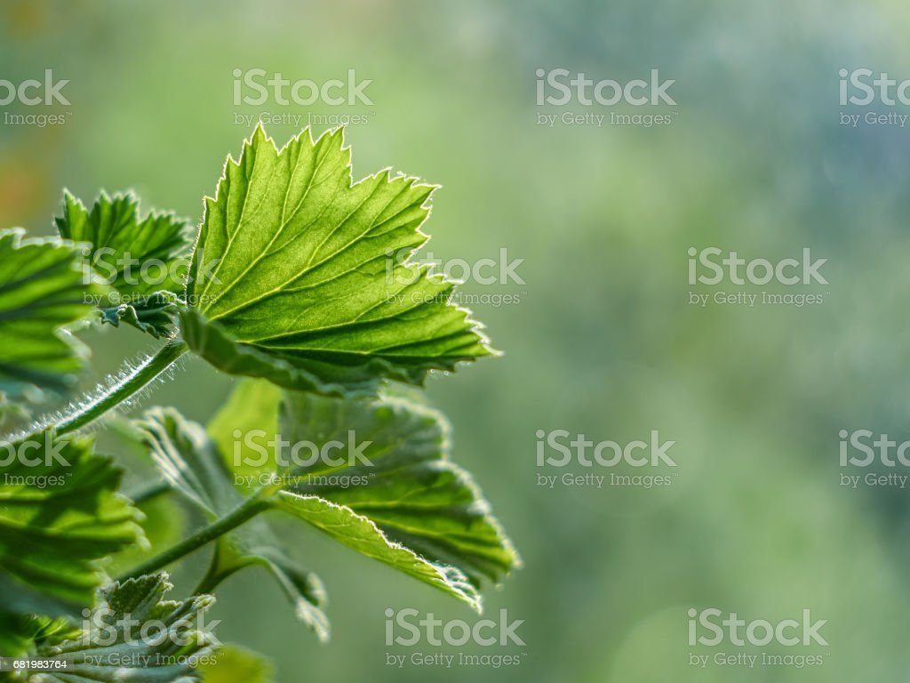 Royal pelargonium leaves - Pelargonium grandiflorum stock photo