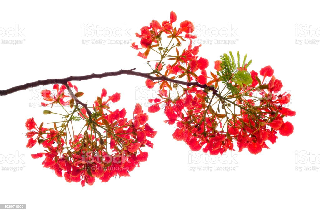 Royal poinciana flower red flower isolated on white background stock royal poinciana flower red flower isolated on white background royalty free stock photo mightylinksfo