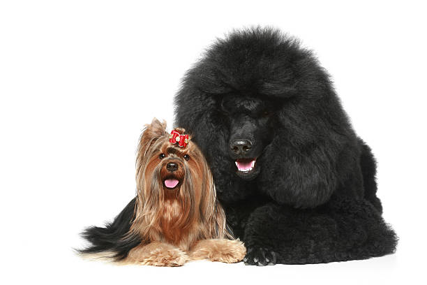 Royal poodle and yorkshire terrier stock photo