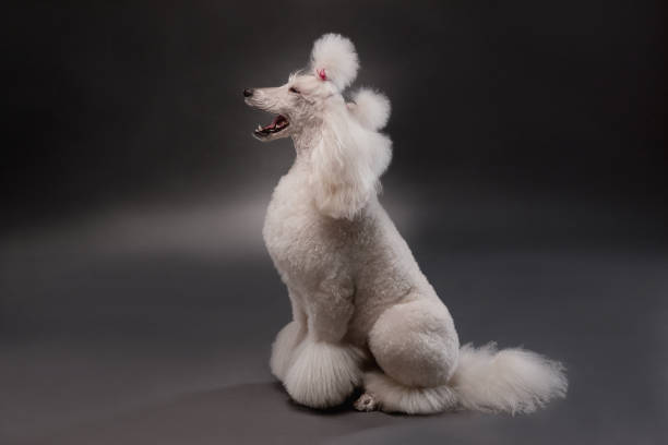 royal poodle white royal poodle dog poodle stock pictures, royalty-free photos & images