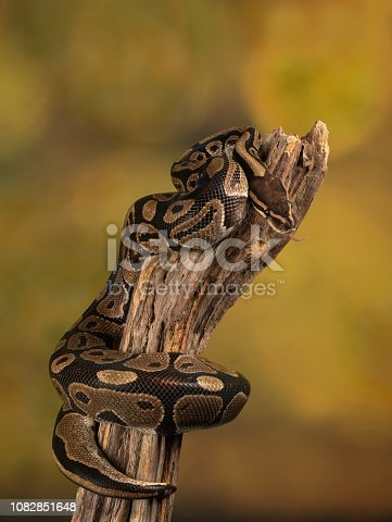 Studio shot of a Royal Python on tree