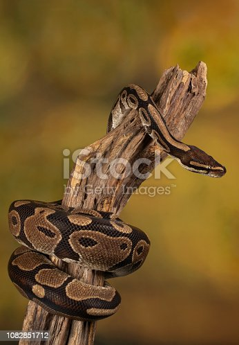 Studio shot of a Royal Python on tree